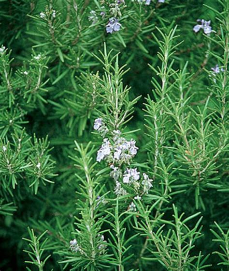 rosemary plant picture seeds rosemary seeds 10 rosemary seeds was sold for r5 00 on 3 dec at 10 54 by lavenderhaven