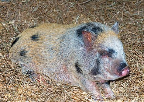 baby pot belly pigs baby pot bellied pig photograph by millard h sharp