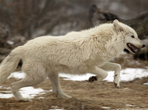 wolves world wolves wallpaper  fanpop