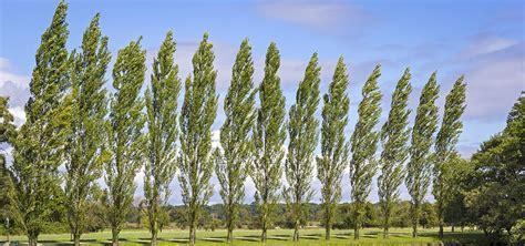 Why Poplars are Popular Again? - Oakbank