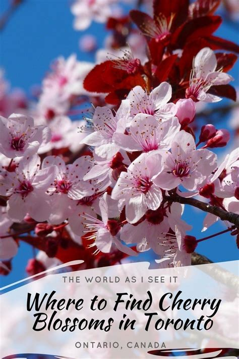 Where To Buy A In Toronto by Where To Find Cherry Blossoms In Toronto The World As I