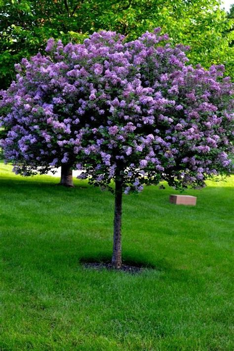 Lilac Tree by Lilac Tree I Just Planted These To Line Both Sides Of Our