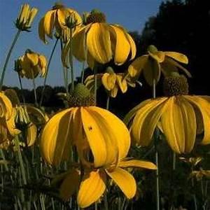 Sonnenhut Pflanze Kaufen : naturagart shop sonnenhut online kaufen ~ Buech-reservation.com Haus und Dekorationen