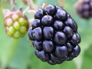 Blackberries Wallpaper - Blackberries Wallpaper  31493107