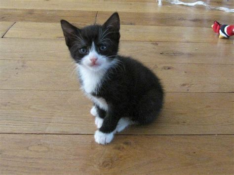 Kitten For Sale by Kittens For Sale Playful Cuddly Black And White