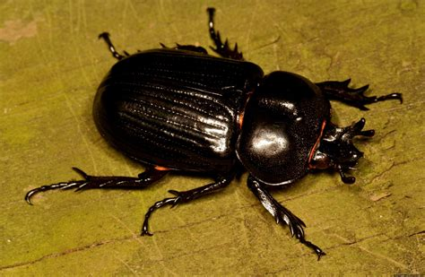 insetto nero volante flying beetle insect wallpapers gallery