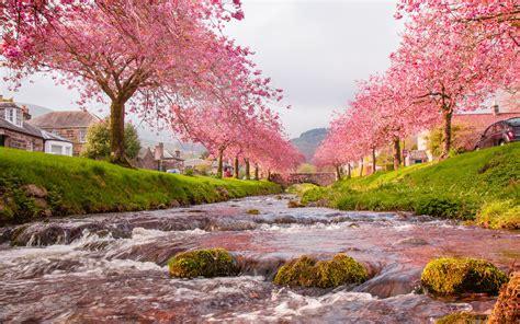 Japan Sakura River Blooming Trees, Pink Flowers, Green