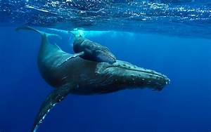 New Documentary Brings 'Humpback Whales' to Life in ...