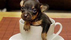 Top 10 Smallest Dog Breeds in the World ! - YouTube