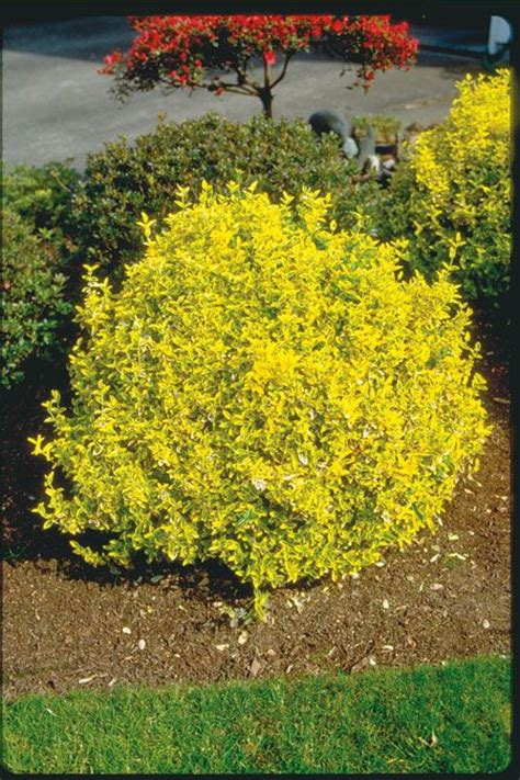 17 Best Images About Evergreen Shrubs  Yellow Green On