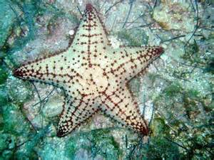 Giant Starfish