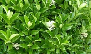 Viburnum Odoratissimum Hedge