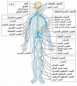 File Nervous System Diagram-ar Svg