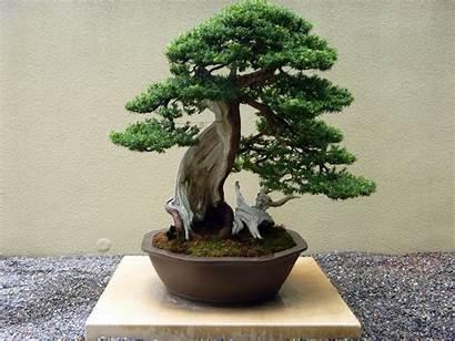 Bonsai Tree Plants Japanese Plant Desktop Indoor