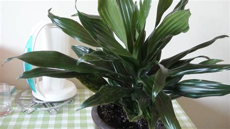 plantes verts d interieur file plante verte jpg wikimedia commons