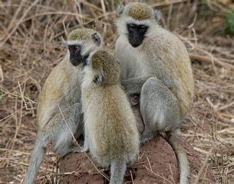 picture    vervet monkey chlorocebus pygerythrus
