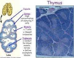 49 Best images about Histology - Lymphatic System and ...