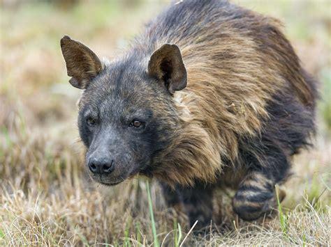 walking brown hyena  brown hyena picture