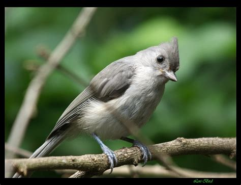 treklens hungry baby titmouse photo