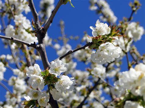 gratis afbeeldingen boom natuur tak fabriek wit