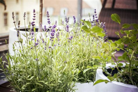 lavender insect repellent plants 7 mosquito repellent plants for your home recommend living