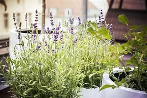 Lavande Anti Moustique : 7 mosquito repellent plants for your home living ~ Nature-et-papiers.com Idées de Décoration