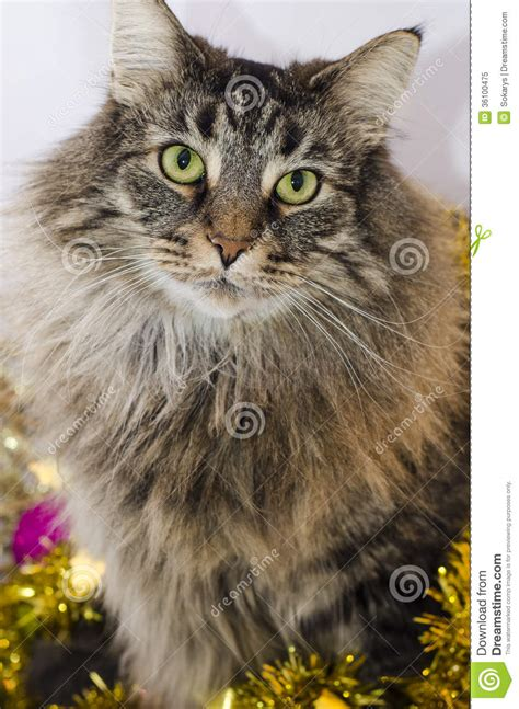 norwegian forests cat royalty  stock photo image