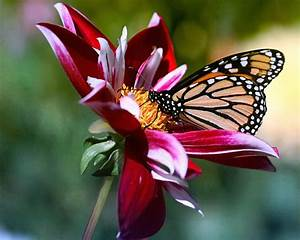 Colorful Butterfly On Flower 36 Hd Wallpaper ...
