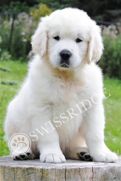 golden retriever puppies swissridge kennels