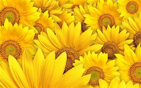 Permalink to Free Desktop Wallpaper Sunflowers