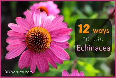 Related Keywords Suggestions For Echinacea Benefits
