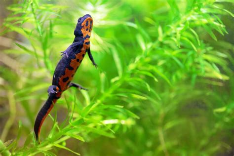 belly newt keeping japanese fire bellied newts keeping exotic pets