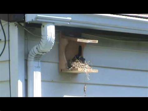robin nesting shelf robin bird house youtube