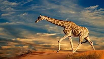 Giraffe Desktop Wallpapers Wallpapersafari Code