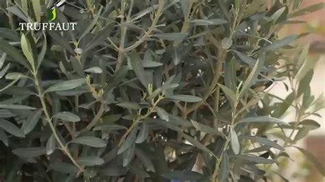 comment planter un olivier en pot jardinerie truffaut tv