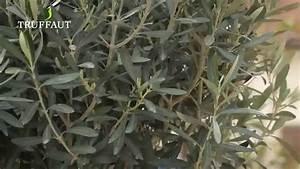 Planter Un Olivier En Pot : comment planter un olivier en pot jardinerie truffaut ~ Dailycaller-alerts.com Idées de Décoration