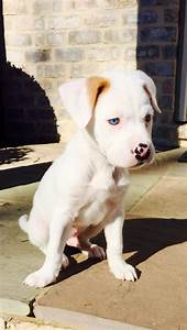 Best 25+ Blue american bulldog ideas on Pinterest | Blue ...