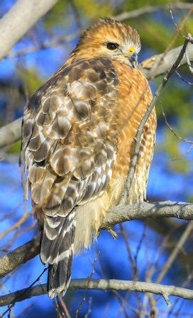 red shouldered hawk nongame  hampshire fish