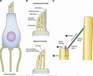Figure 11 From Cadherins In Brain Morphogenesis And Wiring