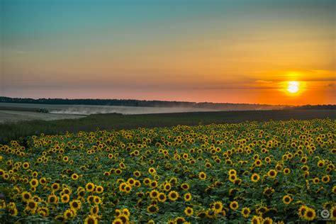 sunflowers  sunset background high quality