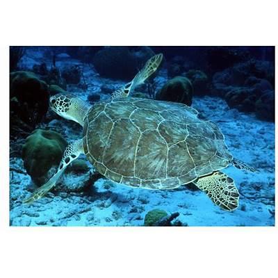 The Hawksbill TurtlesRed SeaThe Wildlife