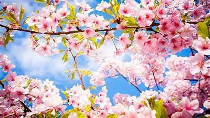 Blossom Cherry Pink Tree Trees Blossoms Desktop