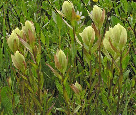 yellow white southwest colorado wildflowers castilleja occidentalis