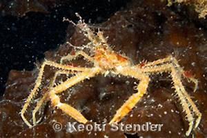 Graceful Decorator Crab, Oregonia gracilis