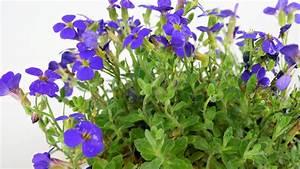 11 Pflanzen Methode : blaukissen pflanzen vermehren und pflegen ~ Lizthompson.info Haus und Dekorationen