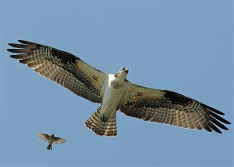 Images Of Osprey Photo Of Osprey