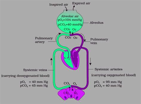 exchange  gases transport gcse biology revision notes