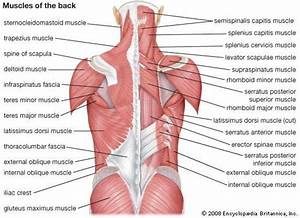 Human Muscle System