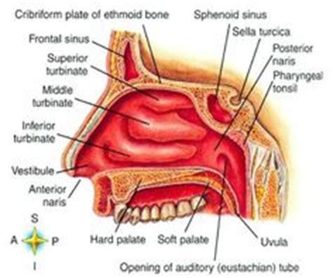 organs   respiratory system   functioning