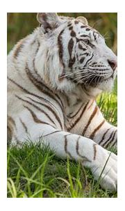 2560x1440 White Tiger 5k 1440P Resolution HD 4k Wallpapers ...